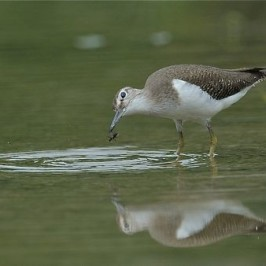 Common Sandpiper takes an insect