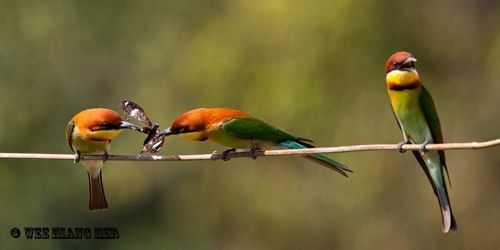 Courtship feeding of the Chestnut-headed Bee-eater
