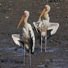 Family of Milky Storks