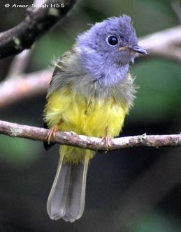 Grey-headed Canary Flycatchers in a bird wave