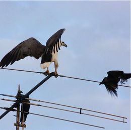 White-bellied Sea Eagle mobbed by crows