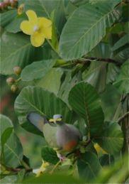 Pink-necked Green Pigeon eats petals