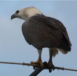 White-bellied Sea Eagle regurgitating fishing line?