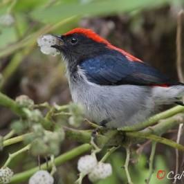 Scarlet-backed Flowerpecker &#8211; <em>Pipturus argenteus</em>