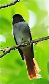 Perching Asian Paradise-flycatcher