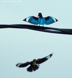 Courtship of the White-throated Kingfisher