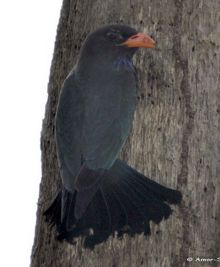 Dollarbird – Jungle Myna confrontation for nest cavity
