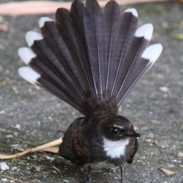 Pied Fantail in partial moult