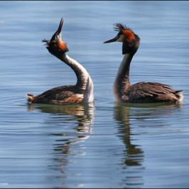 Courtship ritual of the Great Crested Grebe
