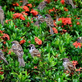 Eurasian Tree Sparrow on ixora plants
