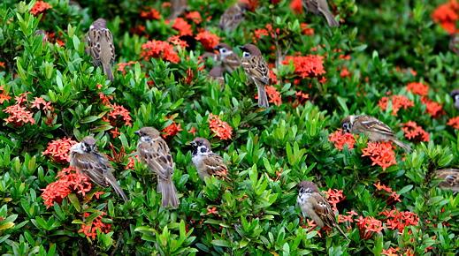 Eurasian Tree Sparrow on ixora plants