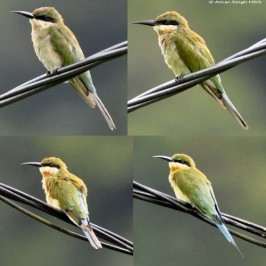 Blue-tailed Bee-eater: Breeding in Ipoh, Malaysia?