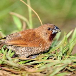 A tame Scaly-breasted Munia?