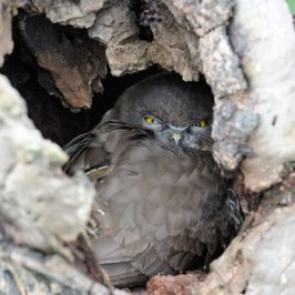 Brown Hawk Owl finds a home