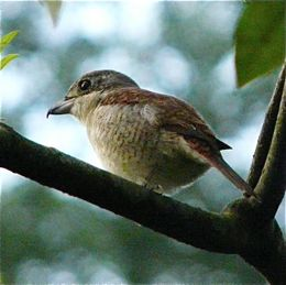 Songs and calls of the Tiger Shrike