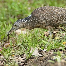 Malayan Night Heron catches an earthworm II