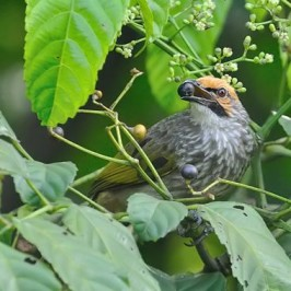Straw-headed Bulbul takes <em>Leea indica</em> fruits