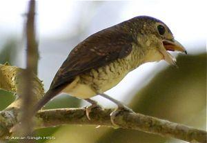 Tiger Shrike swallows prey