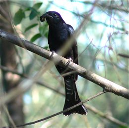 Drongo Cuckoo feeding on caterpillars
