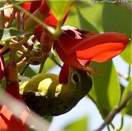 Feeding Behaviour of the Brown-Throated Sunbird
