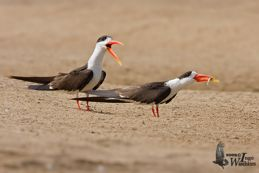 Courtship behaviour of the Indian Skimmer