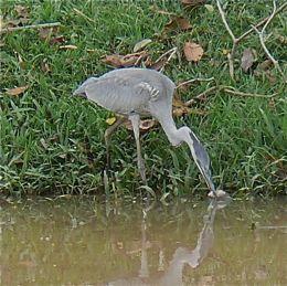 Grey Heron feeds on fish