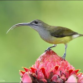 Tongue of the Little Spiderhunter