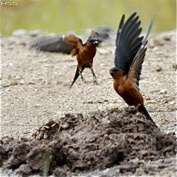 Striated Swallow collecting mud