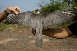 Rescue of a mobbed Amur Falcon in India