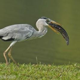 Grey Heron swallows large Walking Catfish