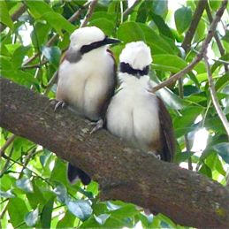 Vocal communication in White-crested Laughingthrush