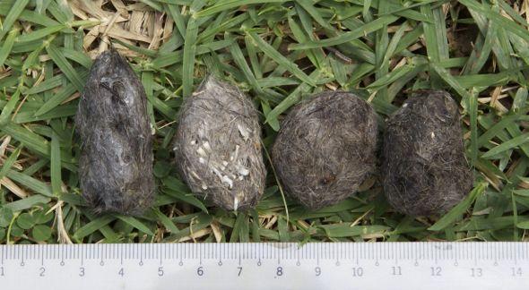 Pellets from Tuas: 2. Bone fragments in the pellets