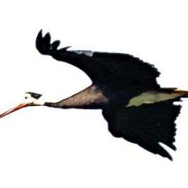 Storm's Stork sighted at Panti Forest, Johor