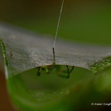 Kidney Garden Spider – Further observations