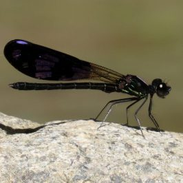 OBSERVATIONS OF <em>ARISTOCYPHA FENESTRELLA</em> DAMSELFLIES