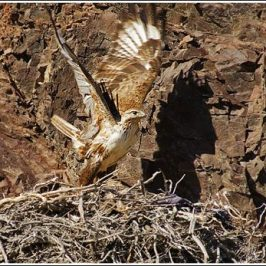 Food brought to the nest of the Long-legged Buzzard