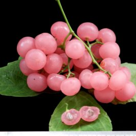 <em>Cayratia mollissima</em>, the bush grape…