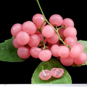 Cayratia mollissima, the bush grape…