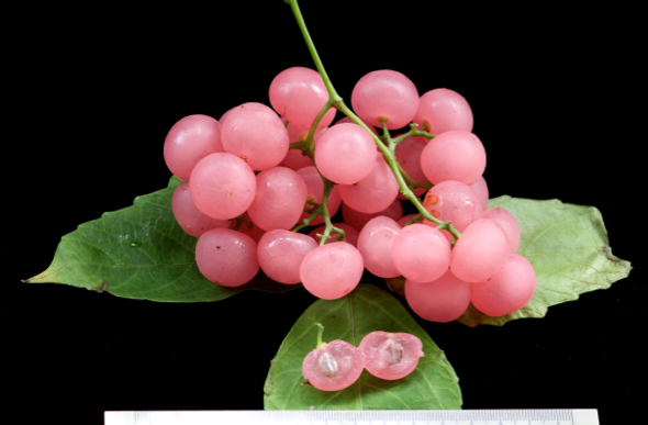 Cayratia mollissima the Bush Grape (Photo credit: YC Wee)
