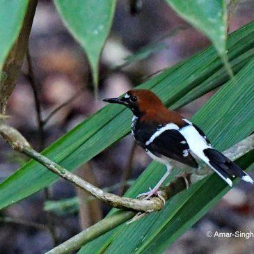 Chestnut-naped Forktail – female