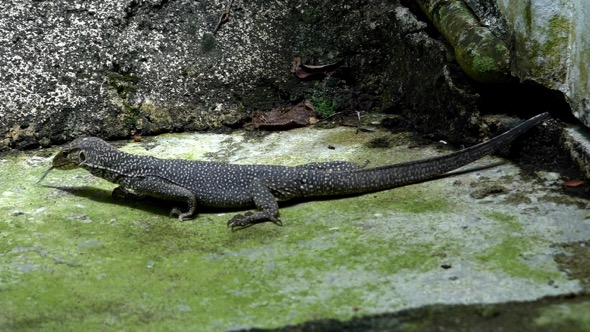 A Clouded Monitor visits my garden