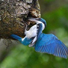 Juvenile Collared Kingfishers