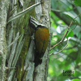 Common Flameback Feeding