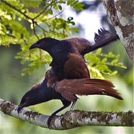Mating of the Greater Coucal