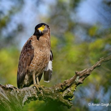 Close-up of a Crested Serpent-eagle