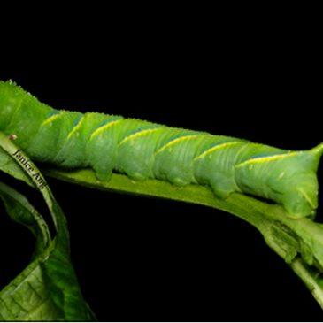 Death's Head Hawkmoth: Caterpillar parasitised.