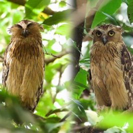 Buffy Fish-owl nesting in a Bird's Nest Fern