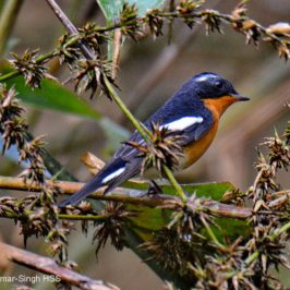 Mugimaki Flycatcher – sexing