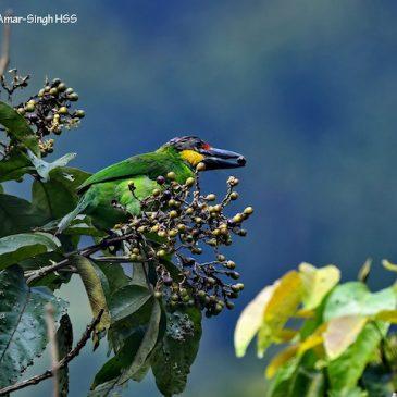 Malayan Teak (Vitex pinnata) – an important bird tree