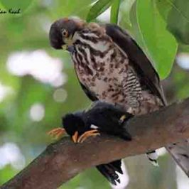 Crested Goshawk caught a Javan Myna